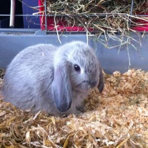 Jeune lapin nain bélier